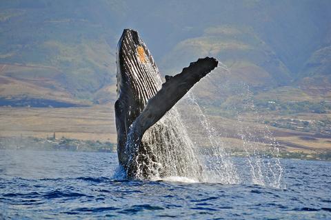 Humpback Whale Breaching on Maui